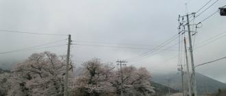 명천마을 벚꽃소식~