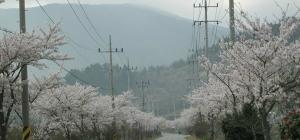 성치마을 벚꽃길이 너...