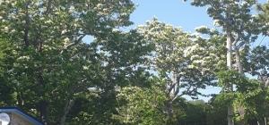 명천마을의 이팝나무꽃...
